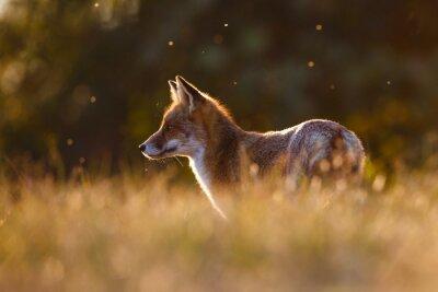 Nálepka červená liška v krásném světle