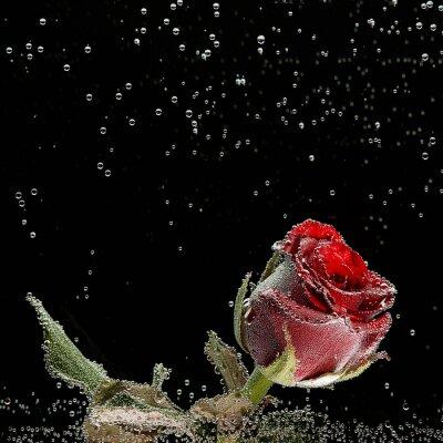 Nálepka Červená růže v kapkami rosy na černém pozadí