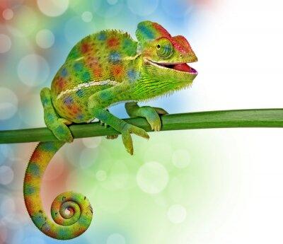 Nálepka chameleon a barvy