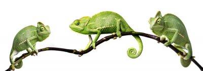 Nálepka chameleon - Chamaeleo calyptratus na větvi