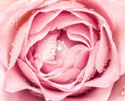 Nálepka close-up of fresh rose flower