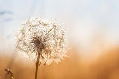 Nálepka Dandelion flower