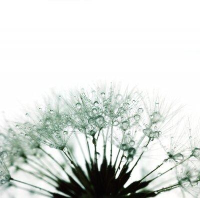 Nálepka Dandelion s vodní kapky - silueta na bílé - Super