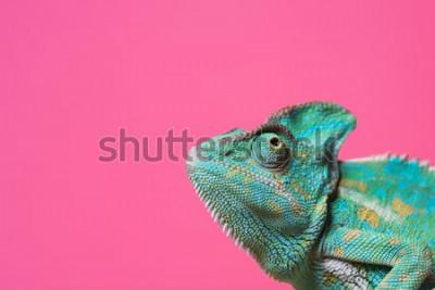 Nálepka detailní pohled roztomilé barevné exotické chameleon izolovaných na růžové