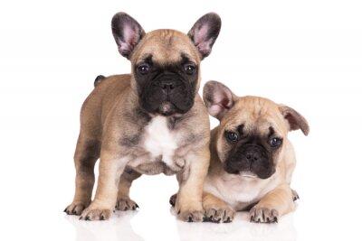 Nálepka Dva béžové french bulldog štěňata na bílém