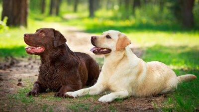 Nálepka dva labrador retriever pes