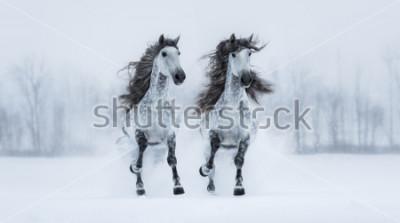Nálepka Dva runnig šedé dlouhéhosrsté Purebred španělské koně přes zasněžené pole.