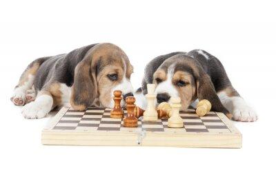 Nálepka dvě Beagle štěňata hrají šachy na bílém pozadí ve studiu