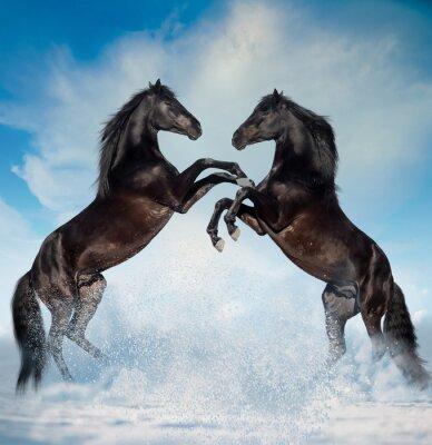 Nálepka dvě černé chována koně na zimní pozadí