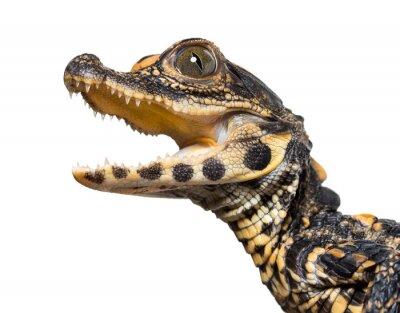 Nálepka Dwarf crocodile against white background