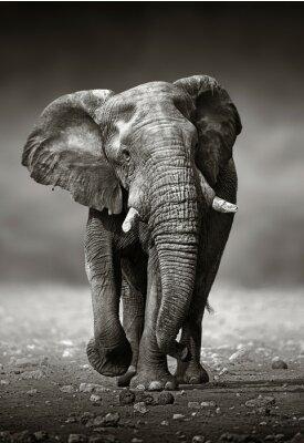 Nálepka Elephant approach from the front