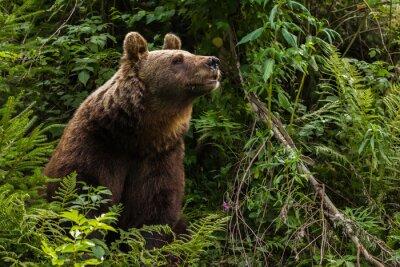 Nálepka Euroasijský medvěd hnědý