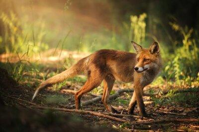 Nálepka Fox na letní lesa