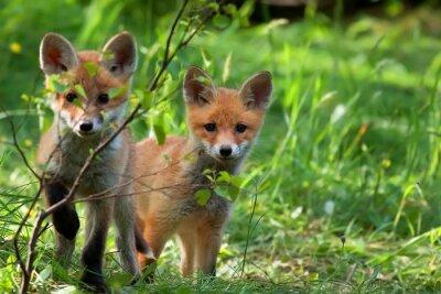 Nálepka Foxes in the wild