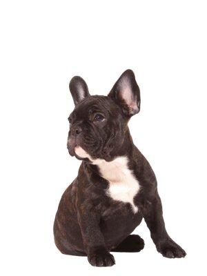 Nálepka Francouzský buldoček štěně (3 měsíce) - Obrázek