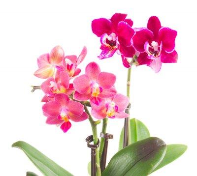 Nálepka Fresh růžová orchidej v hrnci
