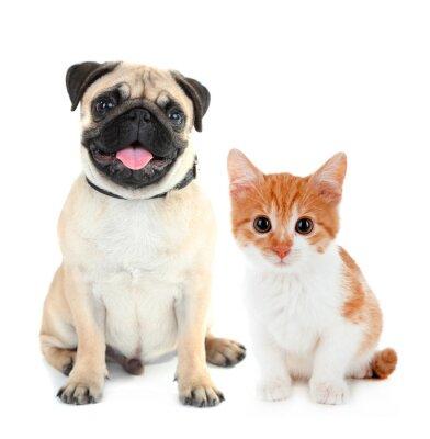 Nálepka Funny mops pes a malé červené kotě izolovaných na bílém