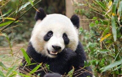 Nálepka Giant Panda Eating Bamboo, Chengdu, Čína