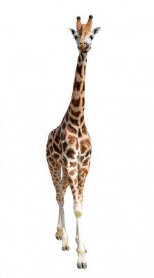 Nálepka giraffe isolated on white background