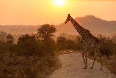 Nálepka Giraffe V Sunrise Kruger National Park