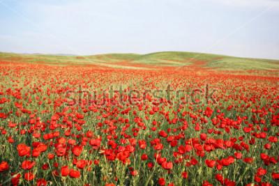 Nálepka green and red beautiful poppy flower field background