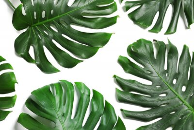 Nálepka Green fresh monstera leaves on white background, top view. Tropical plant