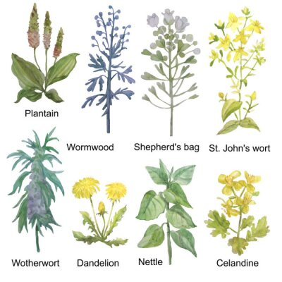 Nálepka Hand-drawn watercolor medicinal forest and meadow herbs. Plantain, wormwood, shepherd's bag, St. John's wort, motherwort, dandelion, nettle and celandine isolated on white background.