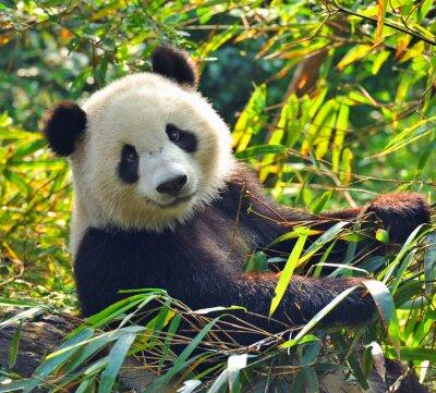 Nálepka Hladový obří panda bear jíst bambus