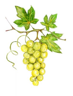 Nálepka Illustration -- green grapes