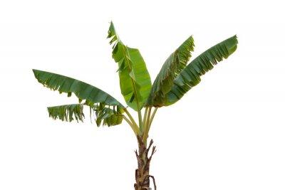Nálepka Isolated banana tree on white background.