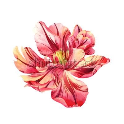 Nálepka Izolované akvarel růžový Tulipán na bílém pozadí