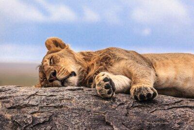 Nálepka Jedna lvice spaní na skále v Serengeti NP, Tanzanie, Afrika