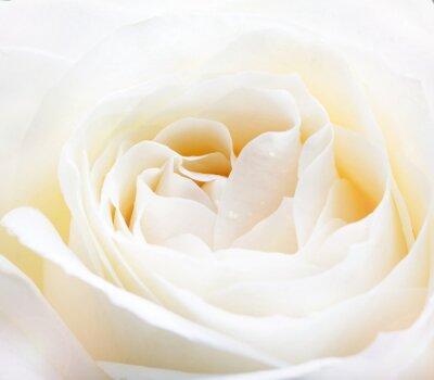Nálepka jemné bílé růže zblízka obraz