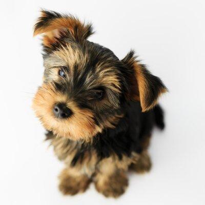 Nálepka Jorkšírský teriér - Portrét roztomilé štěně