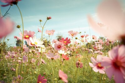 Nálepka Kosmos květ květiny v zahradě