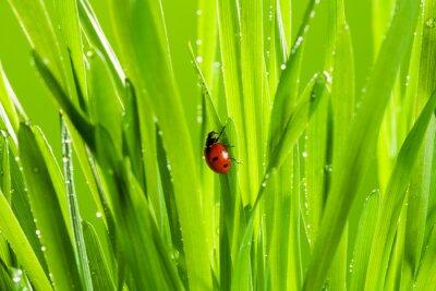 Nálepka krásná beruška na zelené trávě