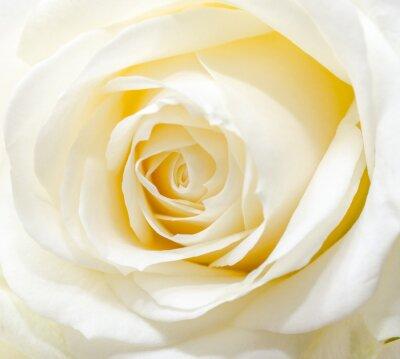 Nálepka Krásná bílá růže