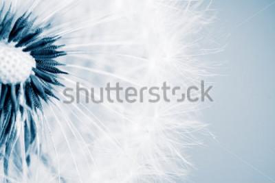 Nálepka Krásná Pampeliška se semeny, close-up