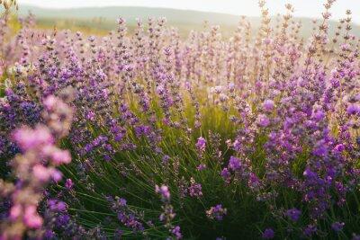 Nálepka Krásné levandule pole