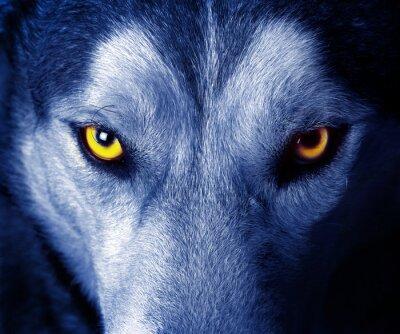 Nálepka krásné oči divokého vlka.