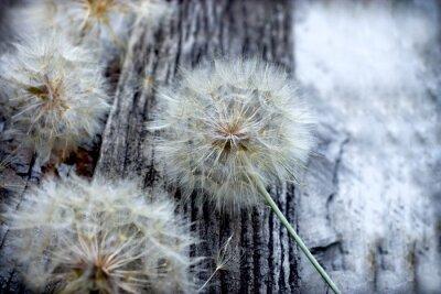 Nálepka Krásné pampeliška semena - načechraný pampeliška