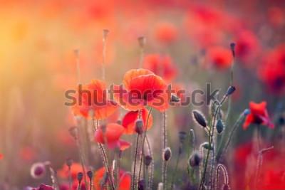 Nálepka Krásné pole červené máky v západu slunce světlo.