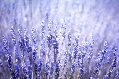 Nálepka Krásné rozmazané kvetoucí rostliny levandule detailní pozadí. Fialově modrá barva filtr a selektivní zaměření použít.