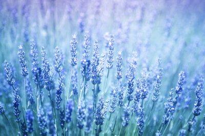 Nálepka Krásné rozmazané kvetoucí rostliny levandule detailní pozadí. Modrá fialová barevný filtr a selektivní zaměření použít.