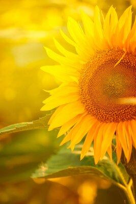 Nálepka Krásné slunečnice v poli