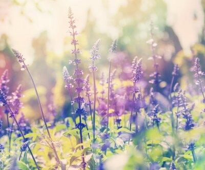 Nálepka krásný letní pozadí, levandulová pole, zblízka