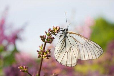 Nálepka krásný motýl sedí na květiny lila