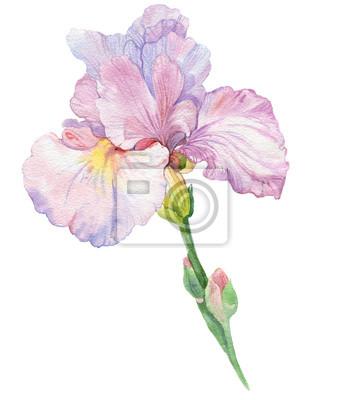 Nálepka květ kosatec