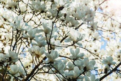 Nálepka Kvetoucí bílá magnólie květiny na jaře