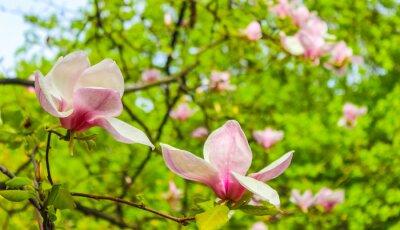 Nálepka kvetoucí magnólie růžový květ